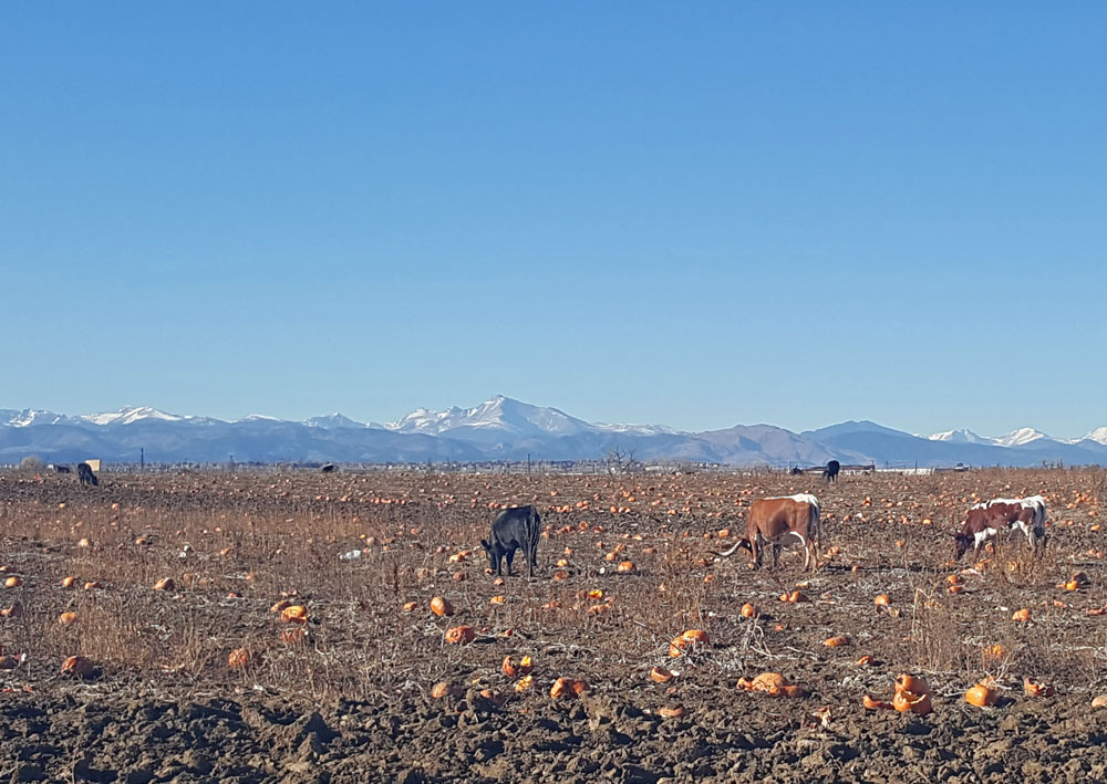 Cows eating pumpkins while riding along the Rock Creek Trail