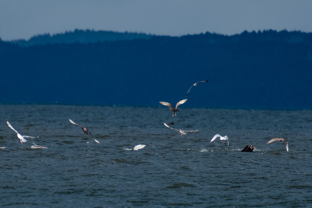 Sea Lions in the water playing with their food, as sea gulls try to get any scraps they can find.