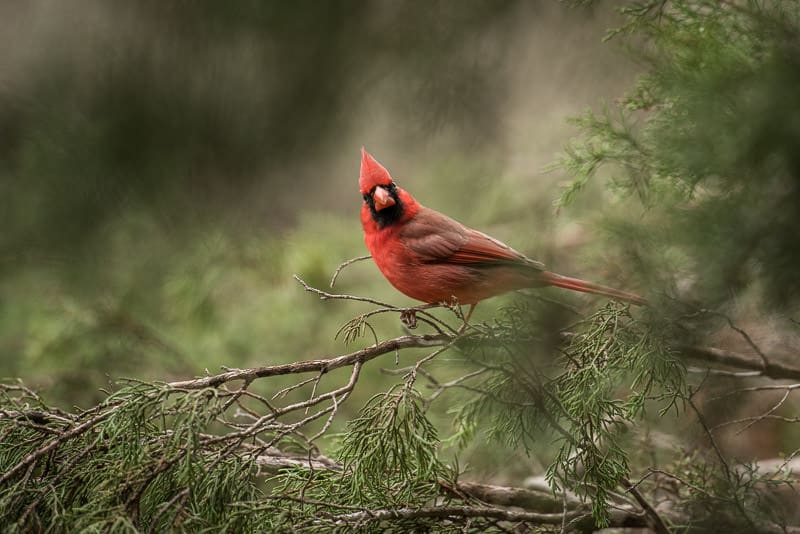 Beautiful bright red cardinal seen at the bird blind at Pedernales Falls State Park